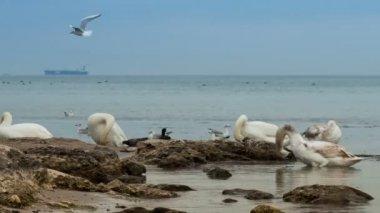 Swans  on  coast — Stock Video