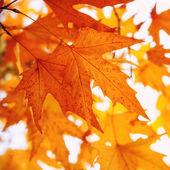 Kırmızı sonbahar yaprakları — Stok fotoğraf