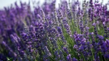 Flowering sprigs of lavender — Stock Video
