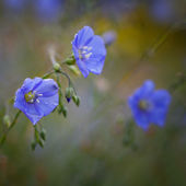 Flowers of flax  — Stock Photo