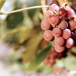 Grapes — Stock Photo #13366053