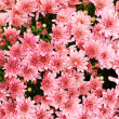 Stock Photo: Pink Chrysanthemums