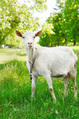 Cute young goat — Stock Photo