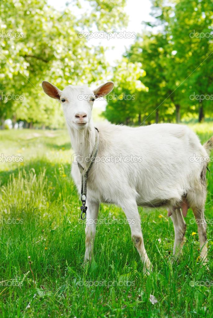 可爱的小山羊 — 图库照片08e_mikh#13366065
