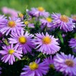 Stock Photo: Violet Asters