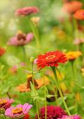 Gerbera çiçekleri — Stok fotoğraf