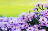 Violet Asters — Stock Photo