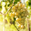 Green grapes on vine — Stock Photo #17464451