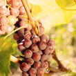 Green grapes on vine — Stock Photo #17464465