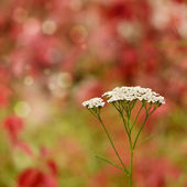 Yarrow - Achillea millefolium flowers — Stock Photo