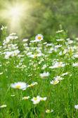 緑の草に野生のカモミール — ストック写真