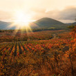 Sunset over a vineyard in the fall season Crimea Ukraine — Stock Photo #18518919