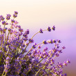 Stock Photo: Lavender flowers bloom summer time