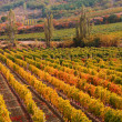 Stock Photo: Sunset over a vineyard in the fall season Crimea Ukraine