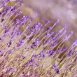 Lavender flowers bloom summer time — Stock Photo