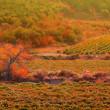 Sunset over a vineyard in the fall season Crimea Ukraine — Stock Photo