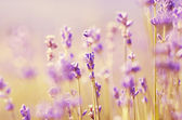 Lavender flowers bloom summer time — 图库照片