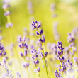 Lavender flowers bloom summer time — Stock Photo #18968383
