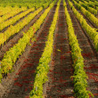 Sunset over a vineyard — Stock Photo