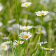 Field of daisy flowers — Stock fotografie