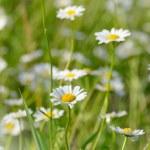 Bereich der Gänseblümchen-Blumen — Stockfoto