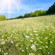 Field of daisy flowers — Stock Photo #22787354