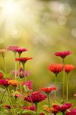 Gerbera flowers — Stock Photo