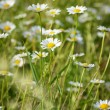 field of gänseblümchenblumen — Stockfoto