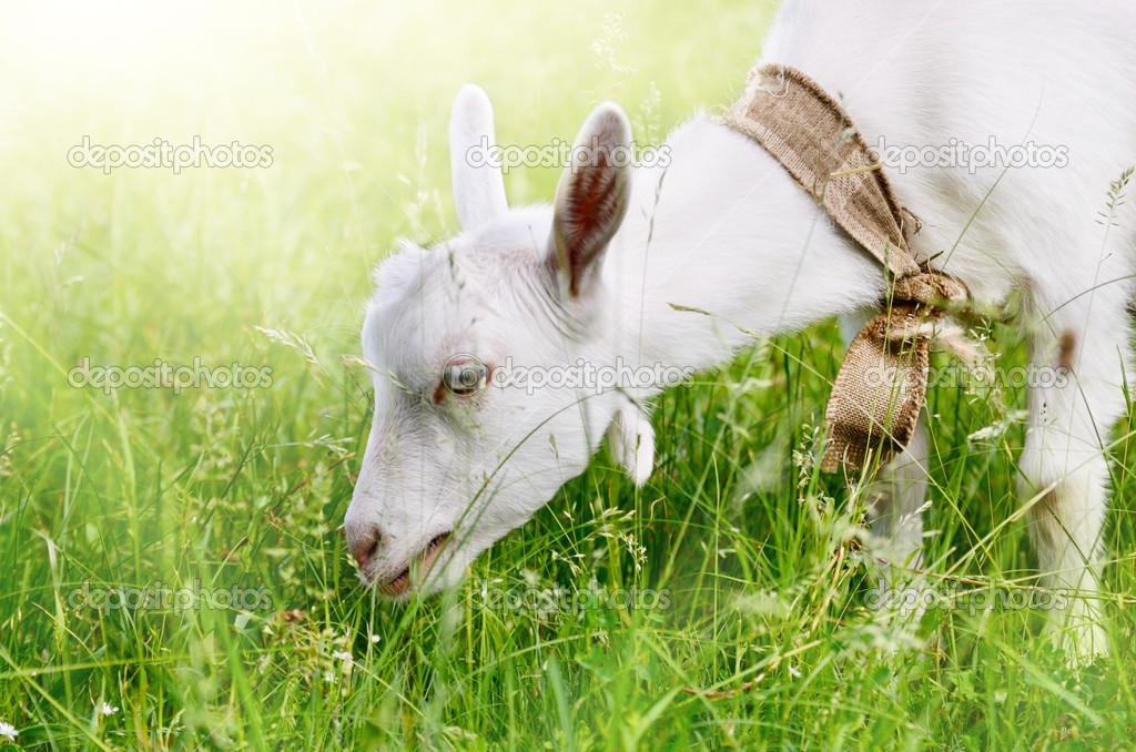 可爱的小山羊 — 图库照片08e_mikh#26431779