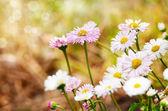 Cute daisies — Stock Photo