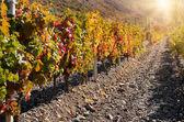 Landschap met groene wijngaarden — Stockfoto