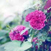 Wild Red roses — Stock Photo