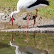 Stock Photo: Stork mirroring in water