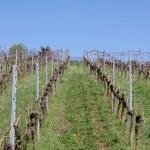 Vineyard in spring — Stock Photo