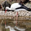 Stock Photo: Wading stork