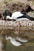 Wading stork — Stock Photo