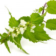 Blooming stinging nettle — Stock Photo #25638205
