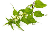 Blooming stinging nettle — Stock Photo