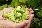 Hop growing — Stock Photo