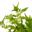 Closeup of stinging nettles — Stock Photo