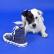 Постер, плакат: Terrier with shoe