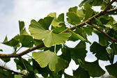 Ginkgo on a branch — Stock Photo