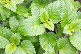 Lemon balm — Stock Photo
