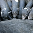 Suckling Black IberiPiglets — Stock Photo #15801817