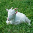 White goat - Stock Photo