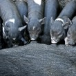 Suckling Black Iberian Piglets — Stock Photo