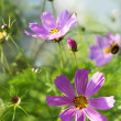 Pink cosmos flowers in summer light — Stock Photo