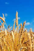 Wheat ears and blue sky — Stock Photo