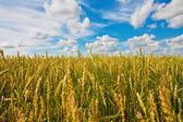 Wheat ears and cloudy sky — Stock Photo