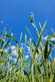小麦の穂と曇り空 — ストック写真